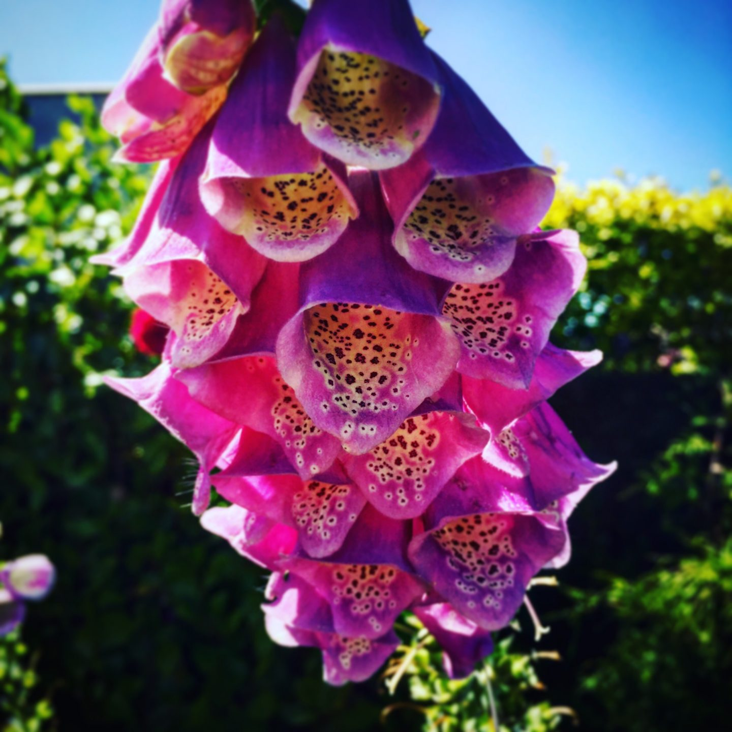 #MySundayPhoto - For The Love Of Foxgloves