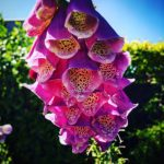 #MySundayPhoto - For The Love Of Foxgloves