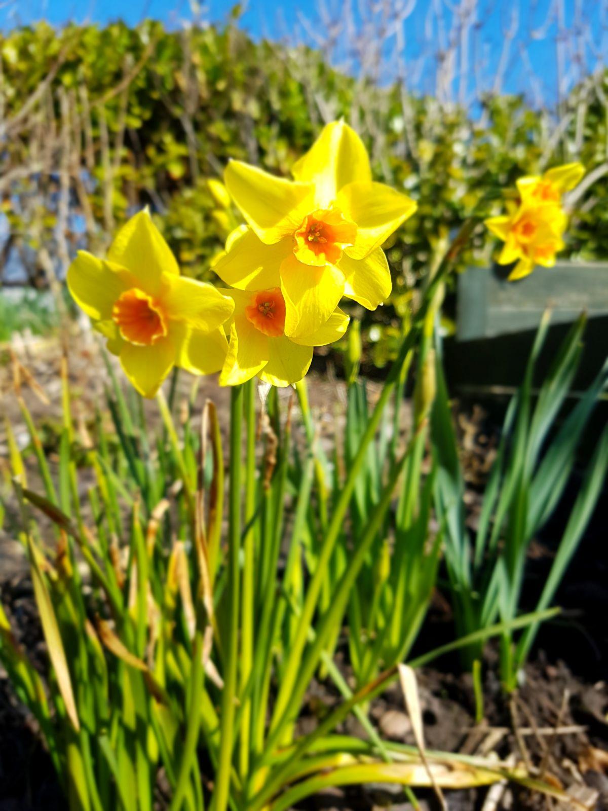 #MySundayPhoto – The Daffodil Days