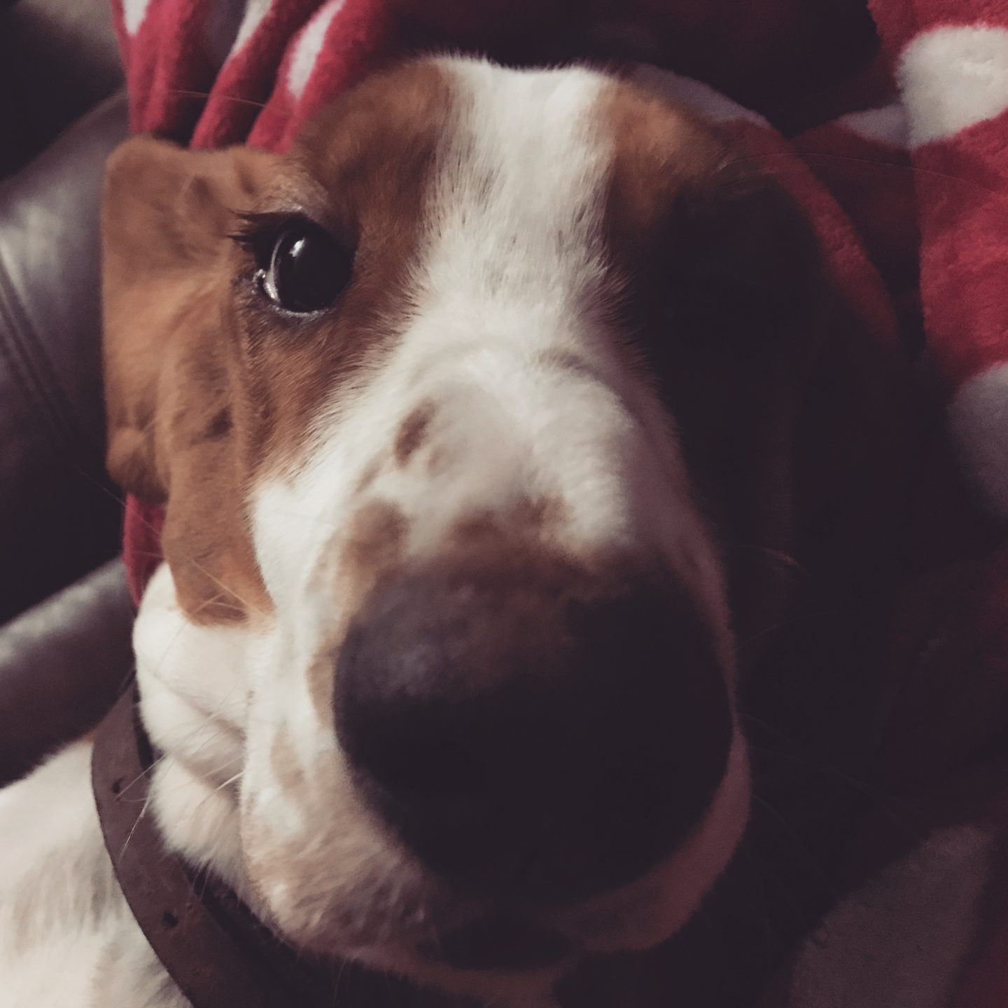 Happy 1st Birthday To Maisy, Our Beautiful Basset Hound.
