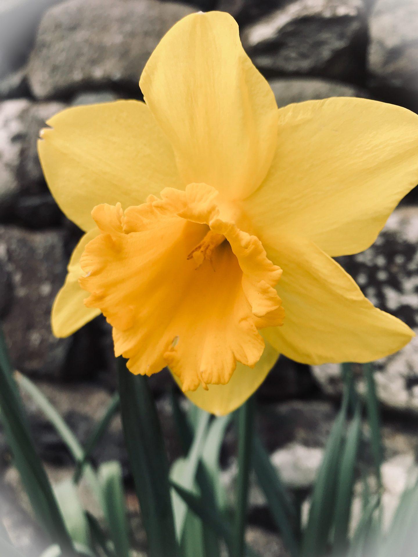 #MySundaySnapshot – Dazzling Daffodils  13/52 (2019)