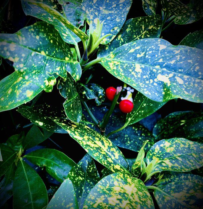 #MySundaySnapshot - Berry Red 12/52 (2021)