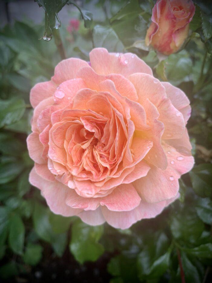 #MySundaySnapshot - Everything's Rosy 28/52 (2021)